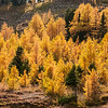 Golden Larches