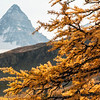 Larch and Assiniboine