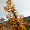Old Larch