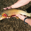 Magog Cutthroat Trout