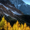 Larches in Redline
