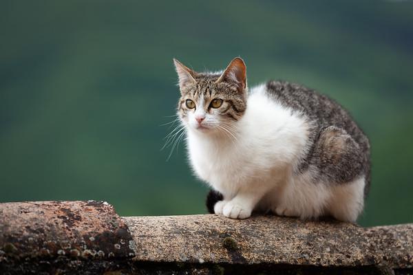 Italian Kitten