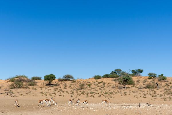 Herd of Springbok