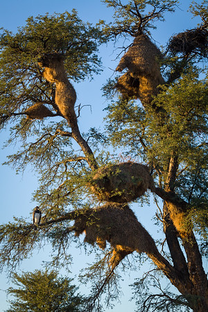 Martial Eagle and Sociable Weaver nests