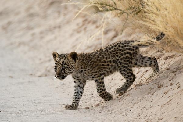 Safran's cub