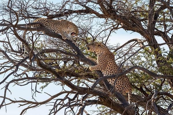 Grumpy Leopard
