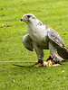 Falconry demonstration at Dunrobin Castle