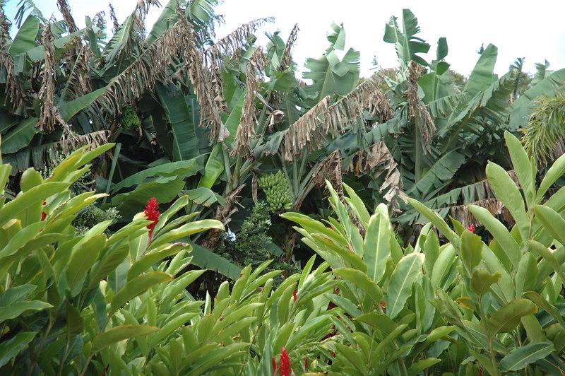 Banana bushes
