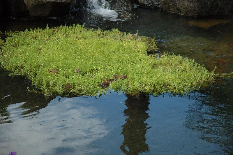 Large frogs on floating vegetation