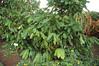 Cacao bush