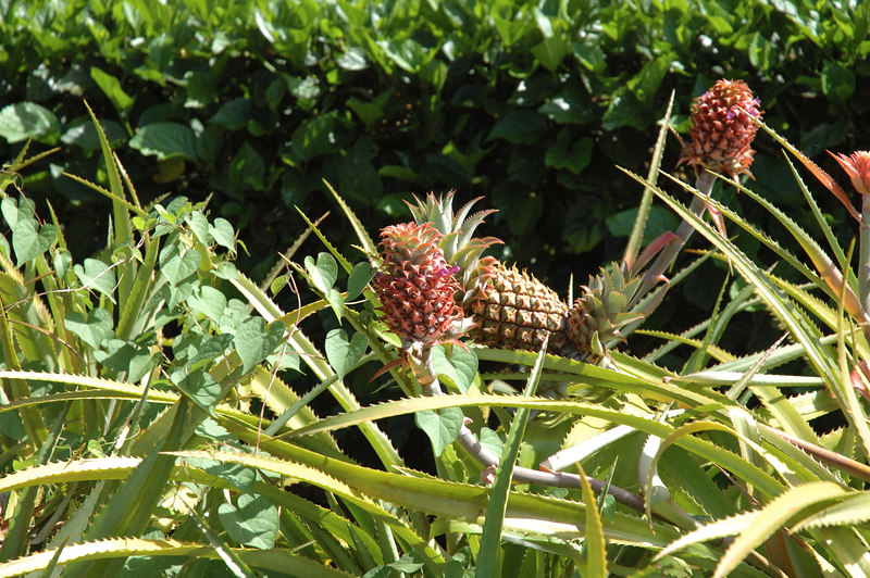 More pineapple