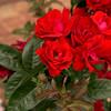 Rose Garden in Washington Park