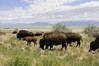 Checking out the buffalos on Antelope Island in the Great Salt Lake