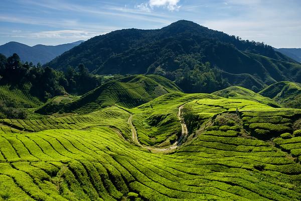 Rolling hills of tea