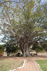 100+ year old Capuli tree at El Salto lodge.
