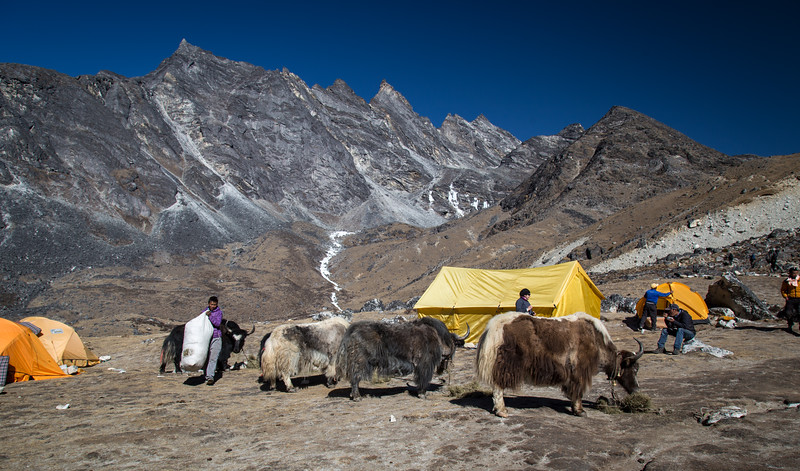 Yaks in Camp