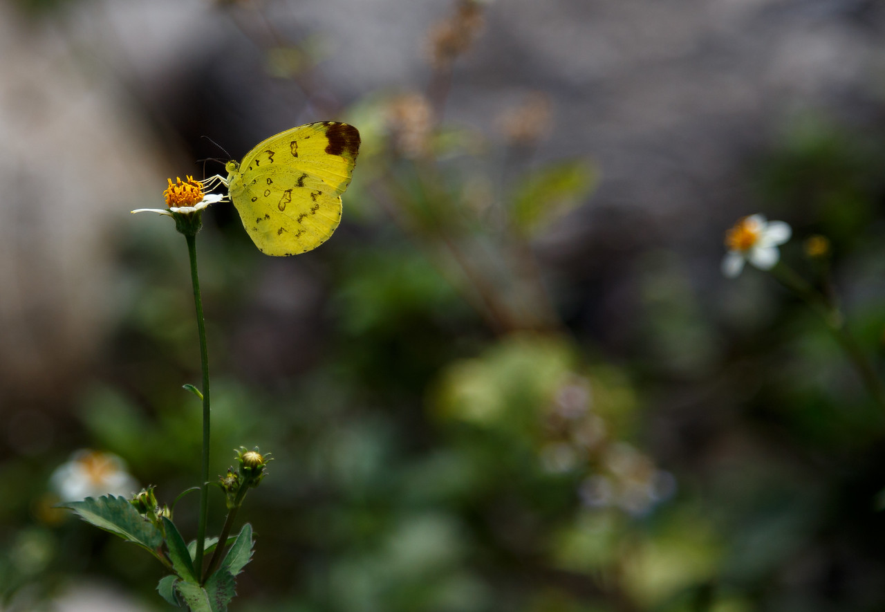 Yellow Butterfly 1