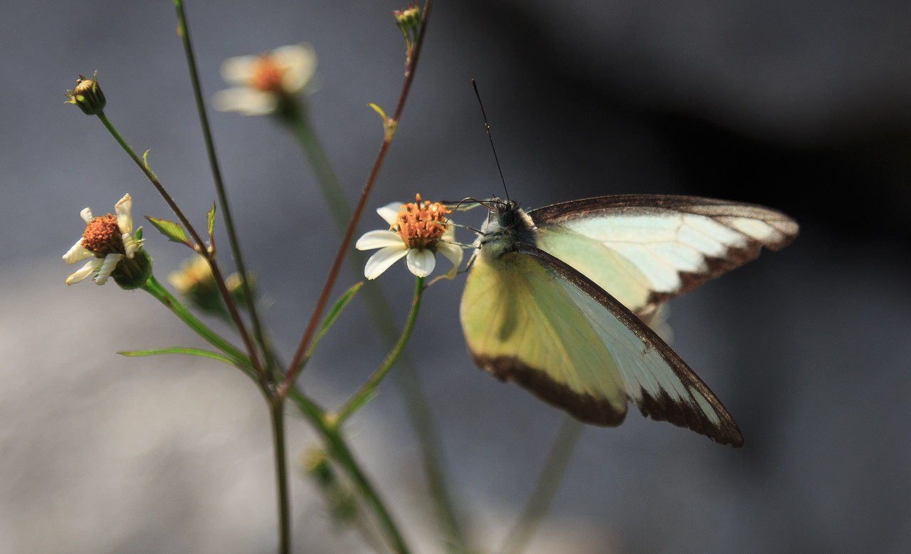 Butterfly Drinking Nectar