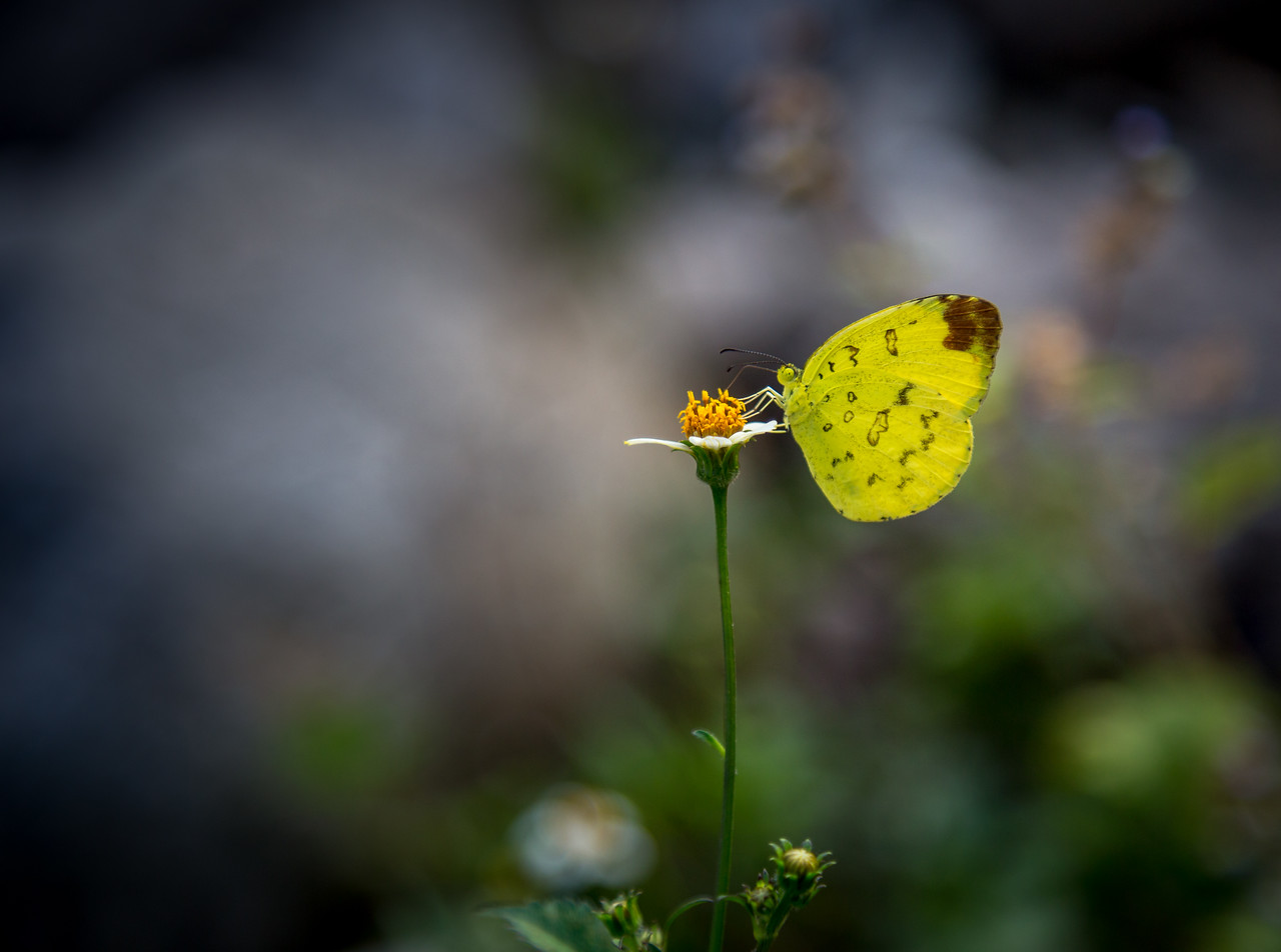 Yellow Butterfly 3