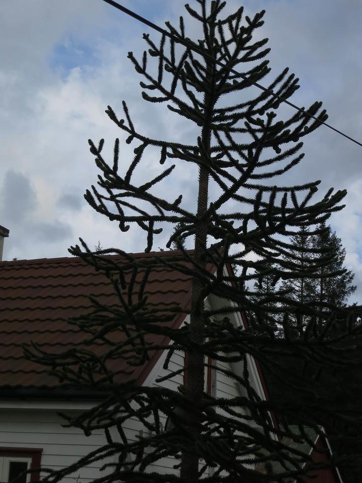 Fascinating conifer