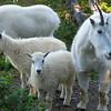 Mtn Goats Family