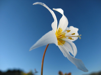 Avalanche Lilly in Blue Sky