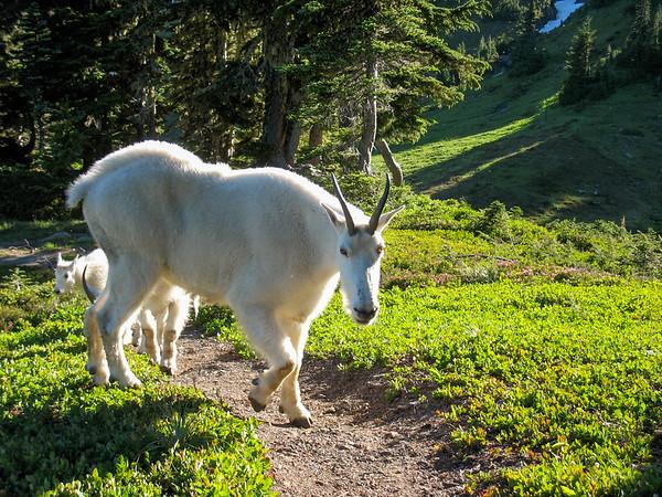 Mtn Goats Says Hello