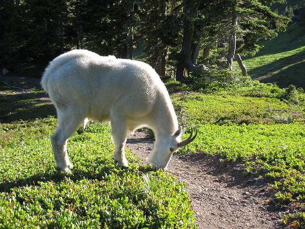 Mtn Goats - 2