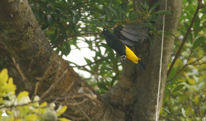 Yellow-rumped Cacique