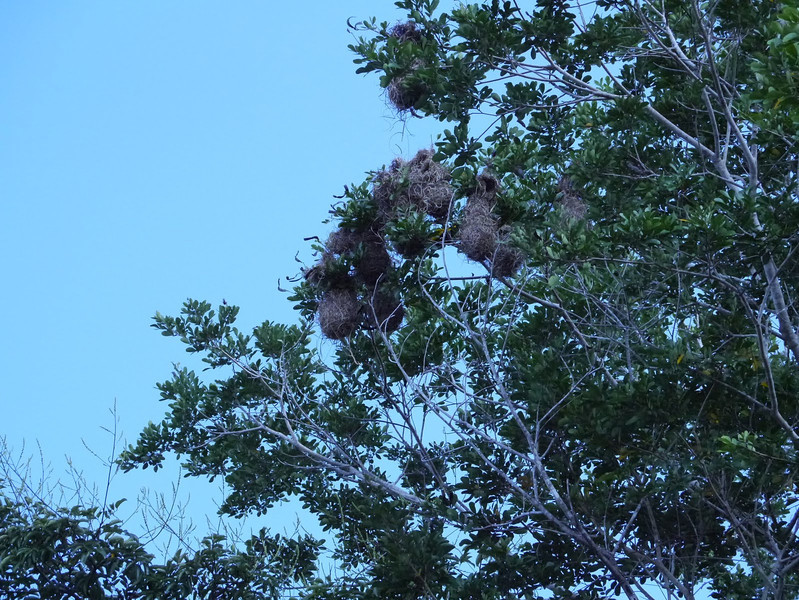 Nests of the Yellow-rumped Cacique