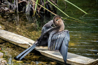 Female Anhinga, drying her wings after fishing.