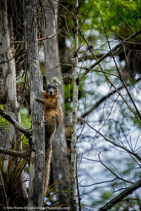 Big Cypress Fox Squirrell
