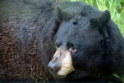 Black Bear (captive)