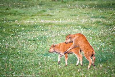Playful bison calves
