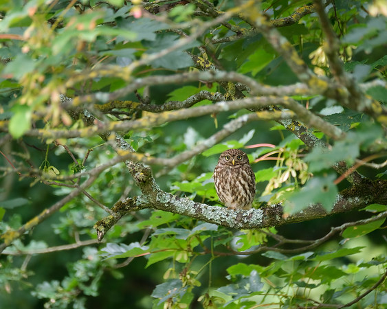 Roosting Little Owl
