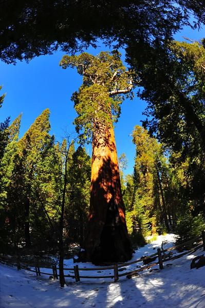 Sequoia 004