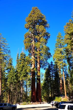 Sequoia 010