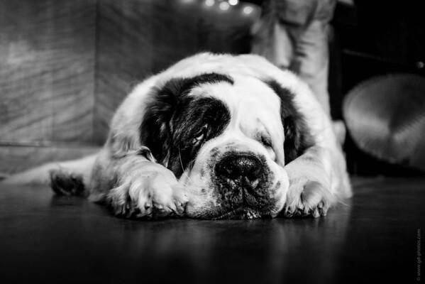 Sonoma Lambert Bridge Winery dog-3