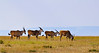 Elands in Masasi Mara (Photograoher: Ron)