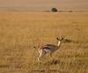 Gazelle in Masaai Mara, Kenya.