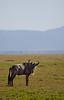 Wildebeest in Masaai Mara, Kenya
