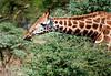 Giraffe eating in Lake Nakuru Park, Kenya. (Photographer: Ron)