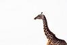 Giraffe at Maasai Mara, Kenya. (Photographer: Ron)