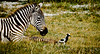 Baby zebra & bird at Lake Nakuru, Kenya.