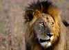 Lion at Maasai Mara, Kenya.