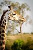 Giraffe at Maasai Mara, Kenya.