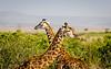 Giraffes at Maasai Mara, Kenya.