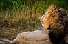 Lion at Maasai Mara, Kenya. (Photographer: Ron)