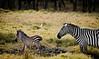 Zebras at Lake Nakuru, Kenya.