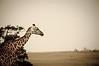 Giraffe with tongue out at Maasai Mara, Kenya.